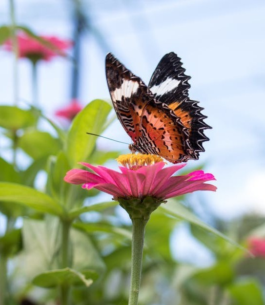 #butterfly-on-zinnia