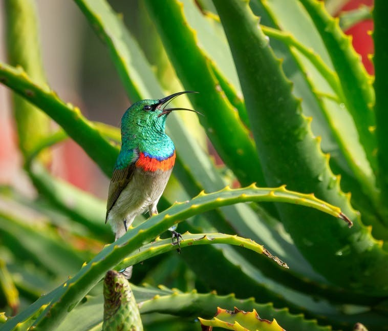 #sunbird-on-aloe