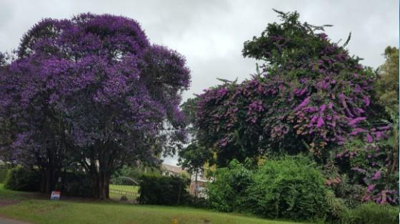#Durban's,beautiful,trees
