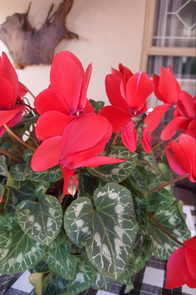 #Cheery houseplant